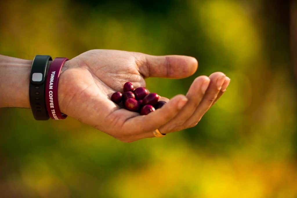 Picker bracelets colored to match perfectly ripe catimor coffee cherries