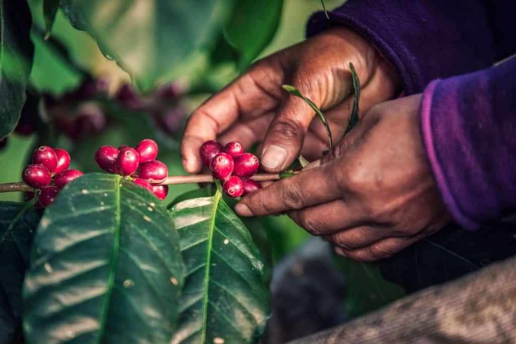 Picking catimor coffee cherries